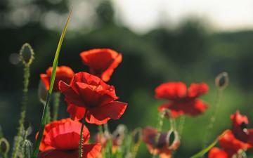 罂粟唯美植物壁纸下载-好运图库