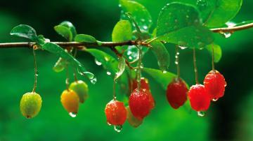 树枝上的绿叶与水果-好运图库