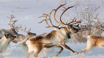 雪地山群鹿-好运图库