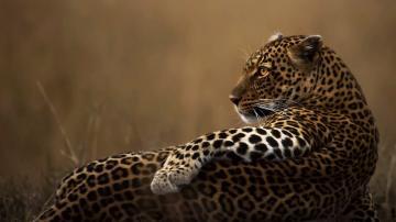 草原上豹子-好运图库