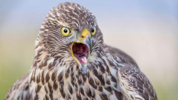 尖叫的猫头鹰-好运图库