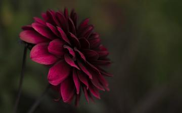 暗红色大丽菊-好运图库