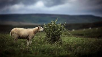 吃草的绵羊-好运图库