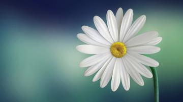 白色菊花图片-好运图库