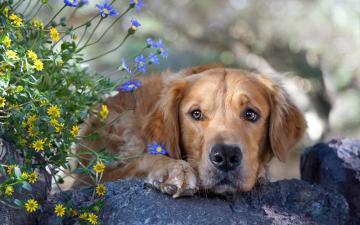 趴着的金毛犬图片-好运图库