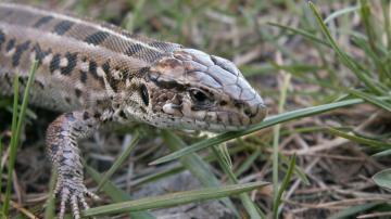 草丛里的蜥蜴图片-好运图库