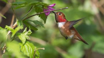 树枝上的绿叶花朵与蜂鸟-好运图库