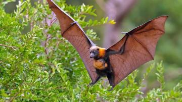 树枝上的蝙蝠-好运图库