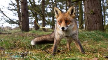 树林里的狐狸-好运图库