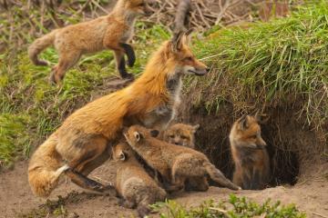 草地上的狐狸-好运图库