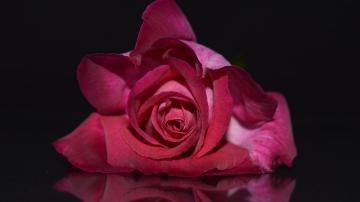 红色玫瑰花朵-好运图库