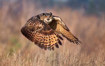 草原上老鹰