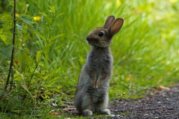草地灰兔子