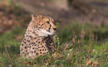 草地上的豹子