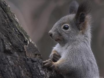 爬树的松鼠