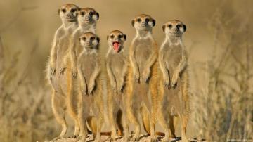 一群长尾猴
