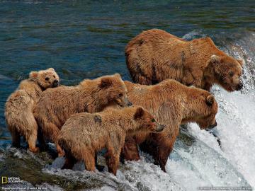 河流上的棕熊