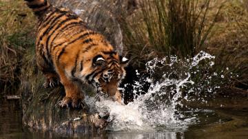 正在喝水的老虎