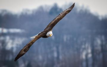 飞翔的白头海雕