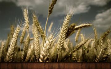 秋天麦穗背景